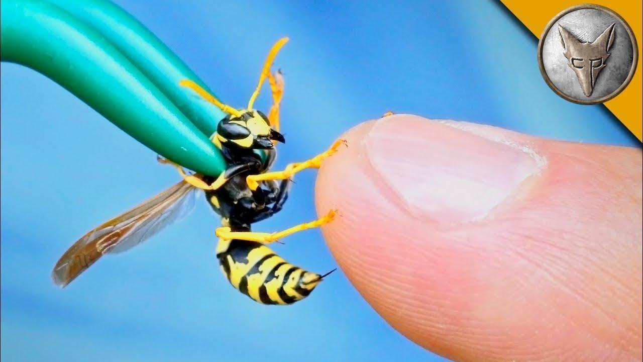Роющие осы: нужно ли опасаться, какие виды бывают?