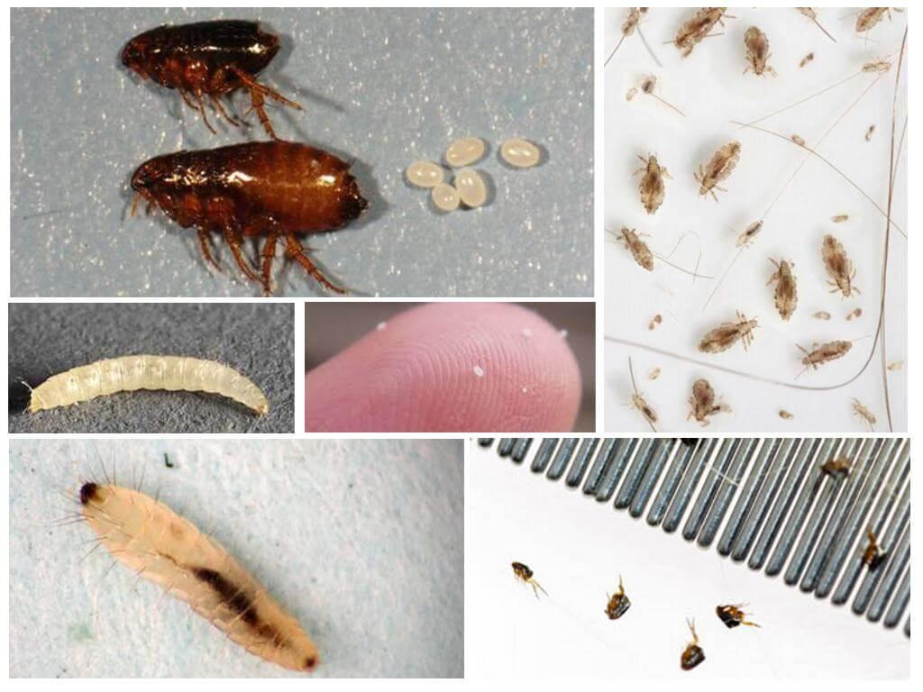 Откуда в доме беруться половые блохи и как с ними бороться? / как избавится от насекомых в квартире