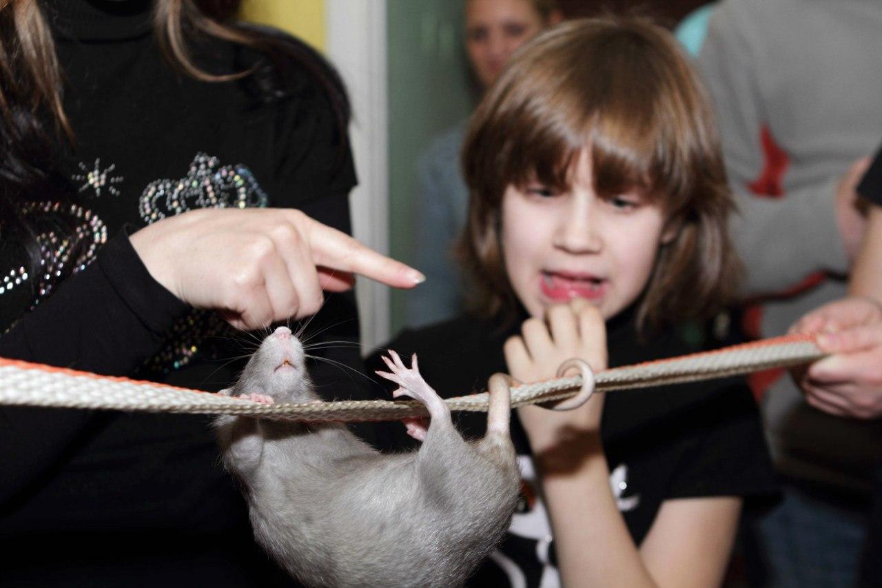 Почему крыса стучит и скрипит зубами