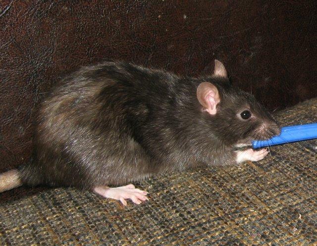 Крысы дамбо (42 фото): особенности породы. сколько живут эти декоративные крысы? уход и содержание. отзывы владельцев