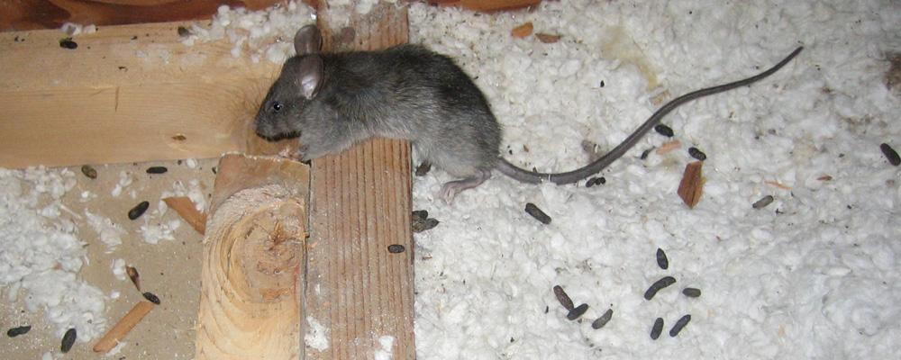 Крысиный помет – фото и отличия, запах, следы