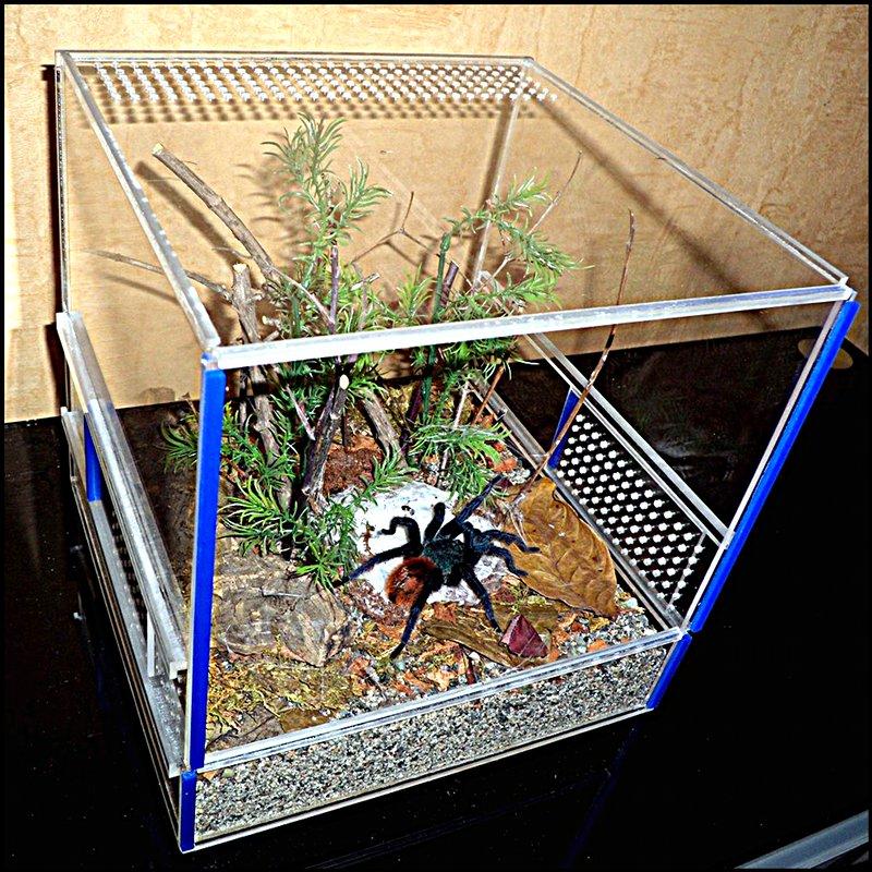 Паук птицеед: содержание в домашних условиях, чем кормить, цена
