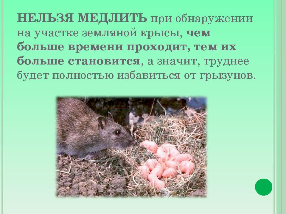 Чего боятся крысы: народные средства, включая запахи и использование утеплителя, который не любят грызуны
