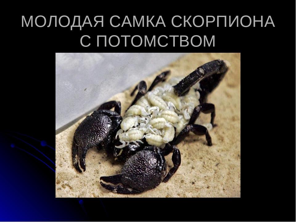 Скорпионы: ареал обитания, строение, образ жизни