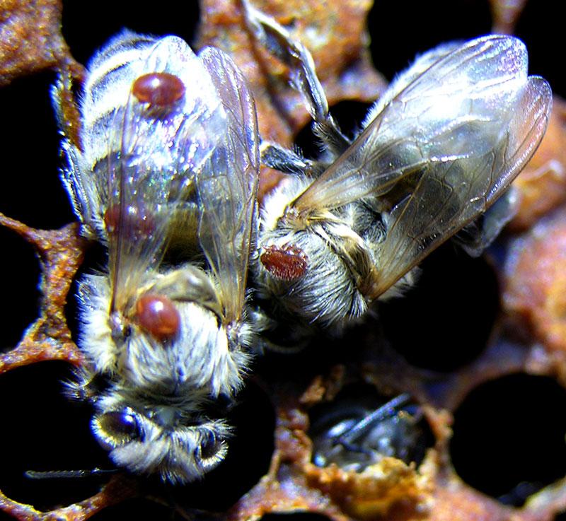 Варроатоз - хитрости пчеловода в борьбе с варроатозом
