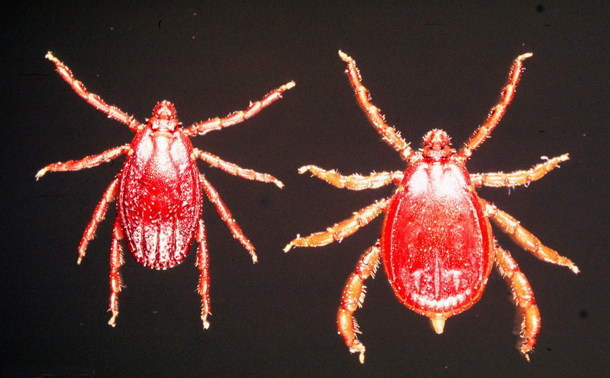 ❶ цикламеновый клещ (tarsonemus pallidus) - описание, размножение, методы борьбы