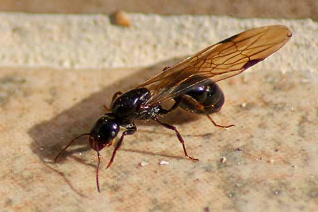 Летучие муравьи в доме: как избавиться