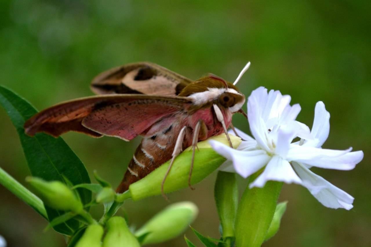 Бражник молочайный (фото) : особенности вида, условия для питания и размножения