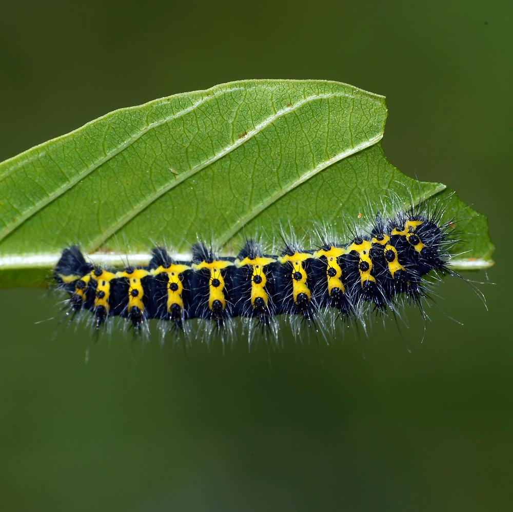 Гусеница — на пути к небу. описание, виды, характеристика, ярких представителей личинок насекомых