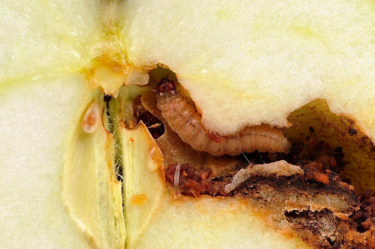 Яблонная плодожорка: методы борьбы с вредителем