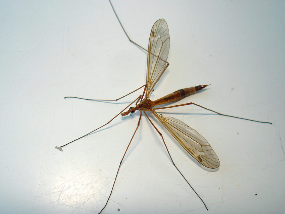 Комар - 102 фото кровопийцы и разносчика опасных болезней