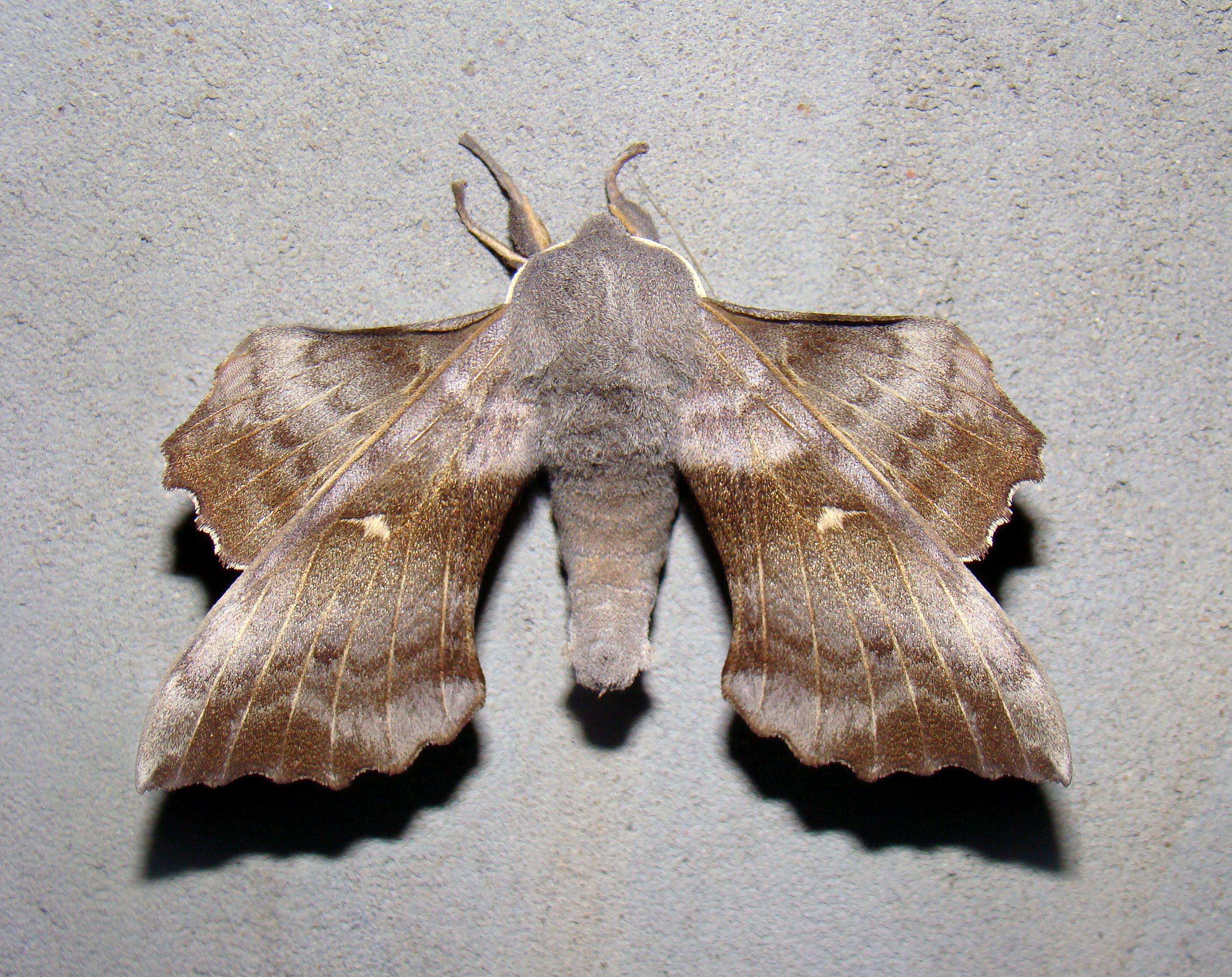 Павлиний глаз бабочка. образ жизни и среда обитания бабочки павлиний глаз   живность.ру