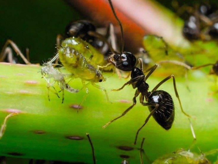 Откуда берутся муравьи в квартире и как от них избавиться: чем опасны муравьи