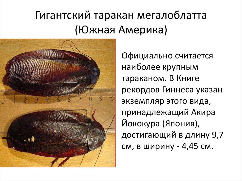 Тараканы рыжие как размножаются