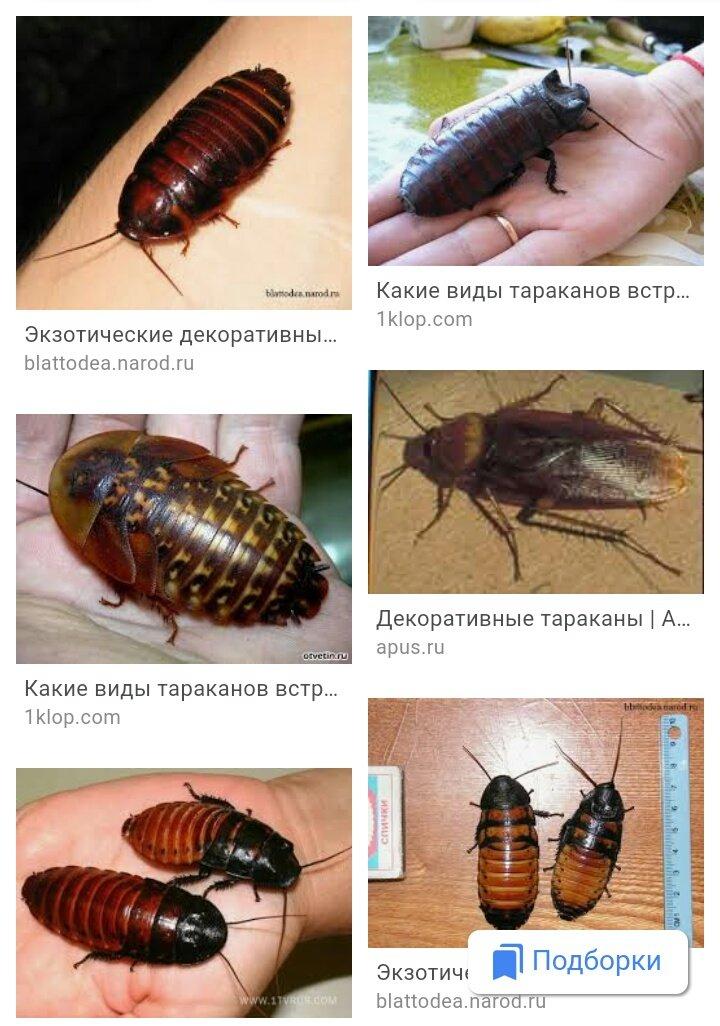 Как выглядят маленькие тараканы