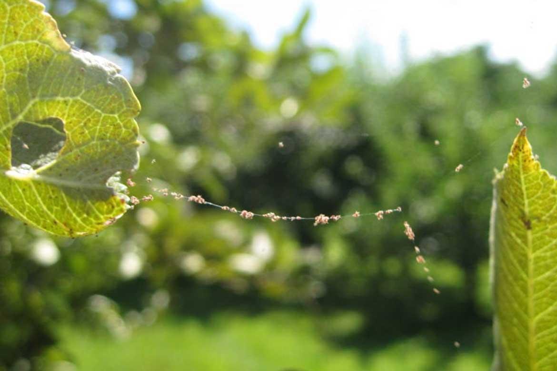 Что делать, если на яблоне листья покрываются паутиной, как бороться и чем обработать - всё про сады