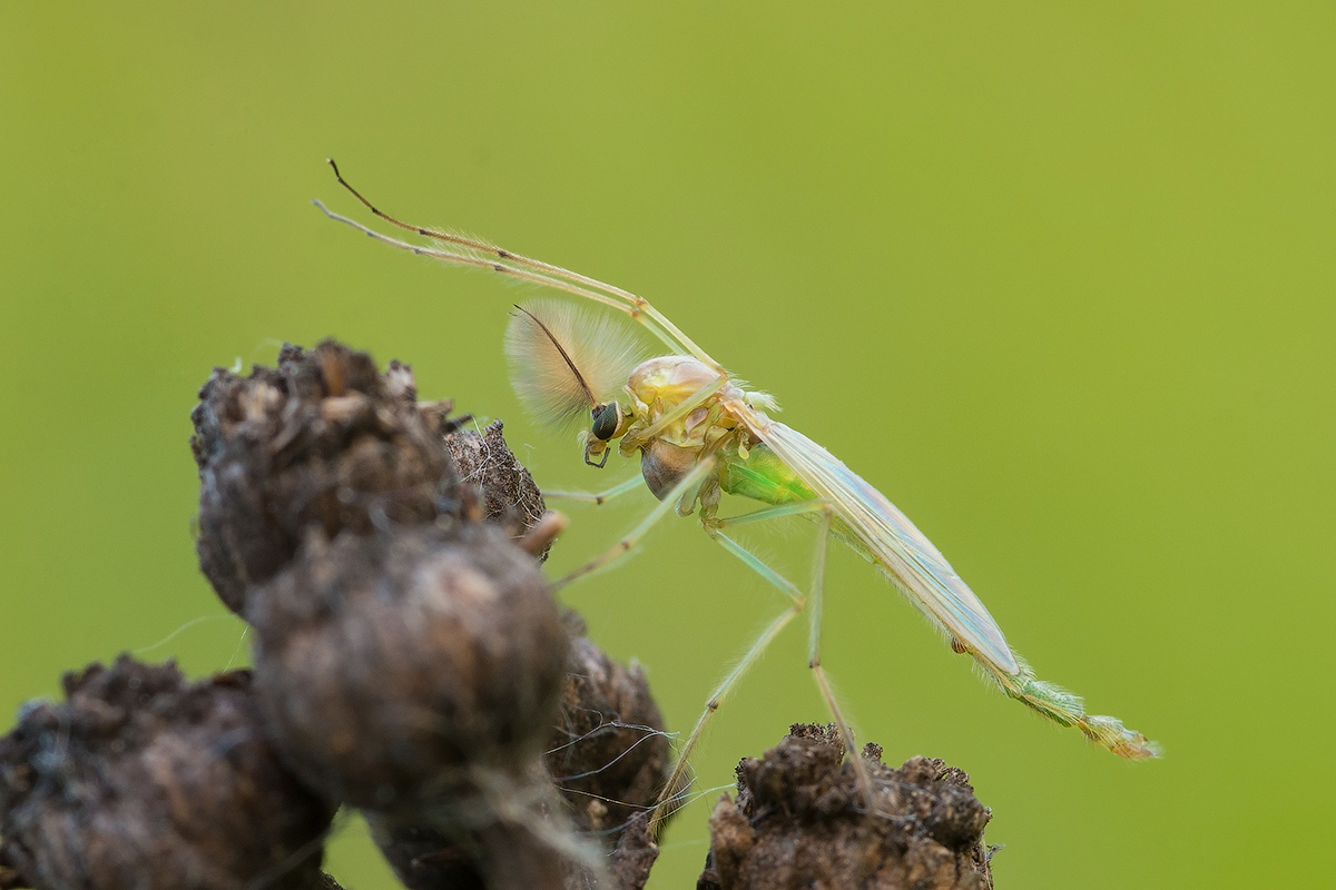 Что нужно знать о строении комара
