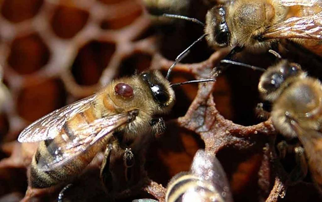 Варроатоз пчел – эффективные средства уничтожения клеща