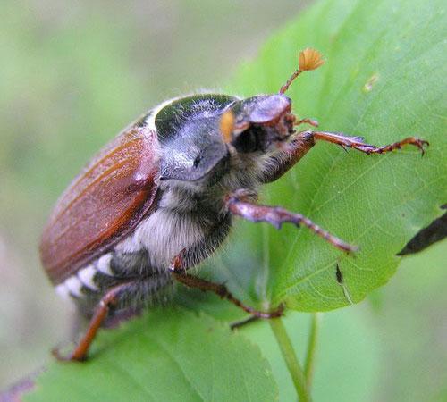 Майский жук: фото, виды и вредоносность