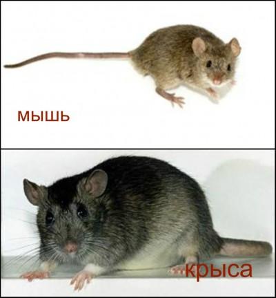 Крысы и мыши - чем они отличается