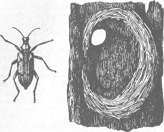 Короедный волк: жизненный цикл и рацион питания необычного жука