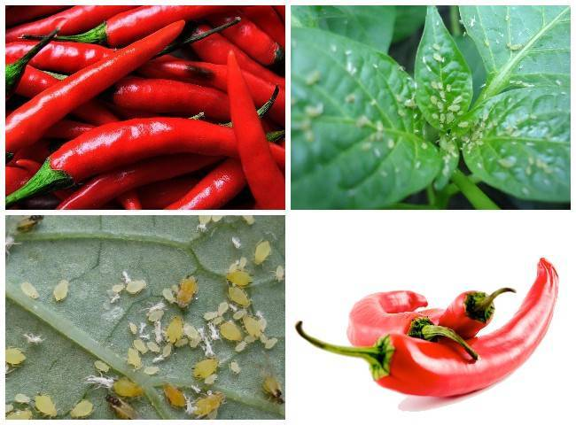 Чем обработать перец от тли химическими и народными методами