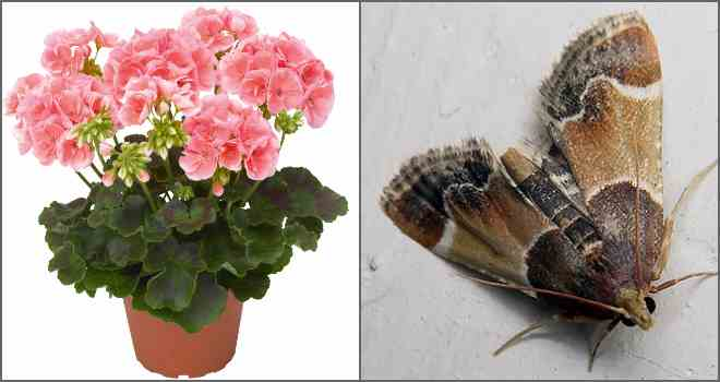 Какие растения отпугивают моль своим запахом
