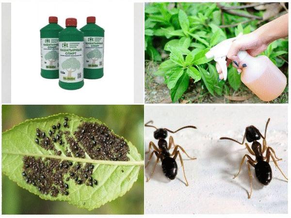 Как вывести муравьев с помощью нашатыря: рецепты для квартиры и огорода