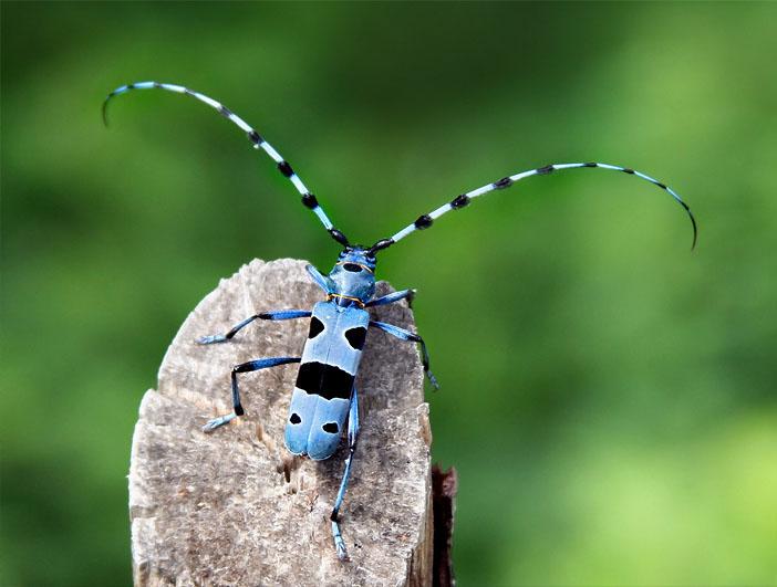 Усач альпийский | мир животных и растений