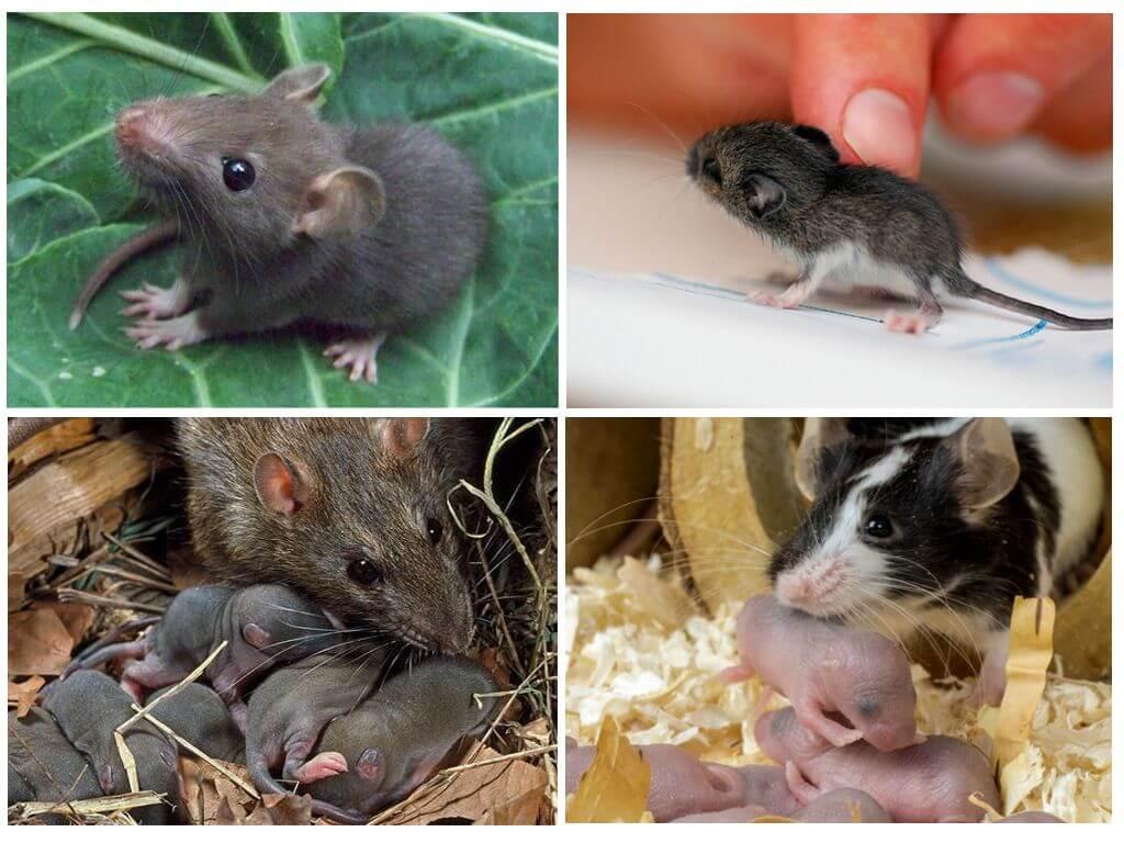 Чем отличается мышь от крысы: основные различия