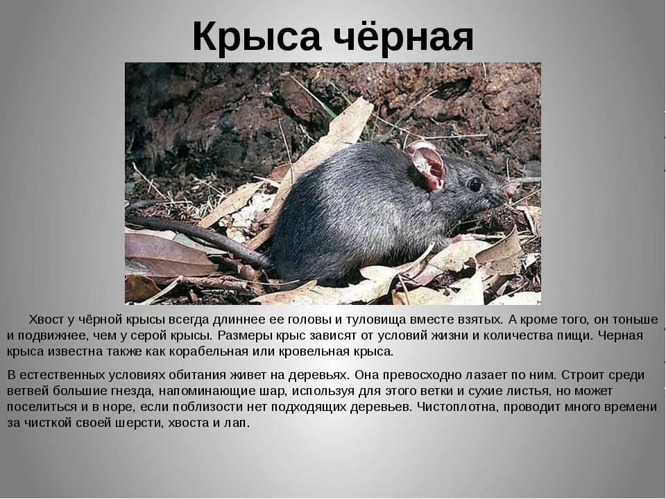 Приручение серой крысы