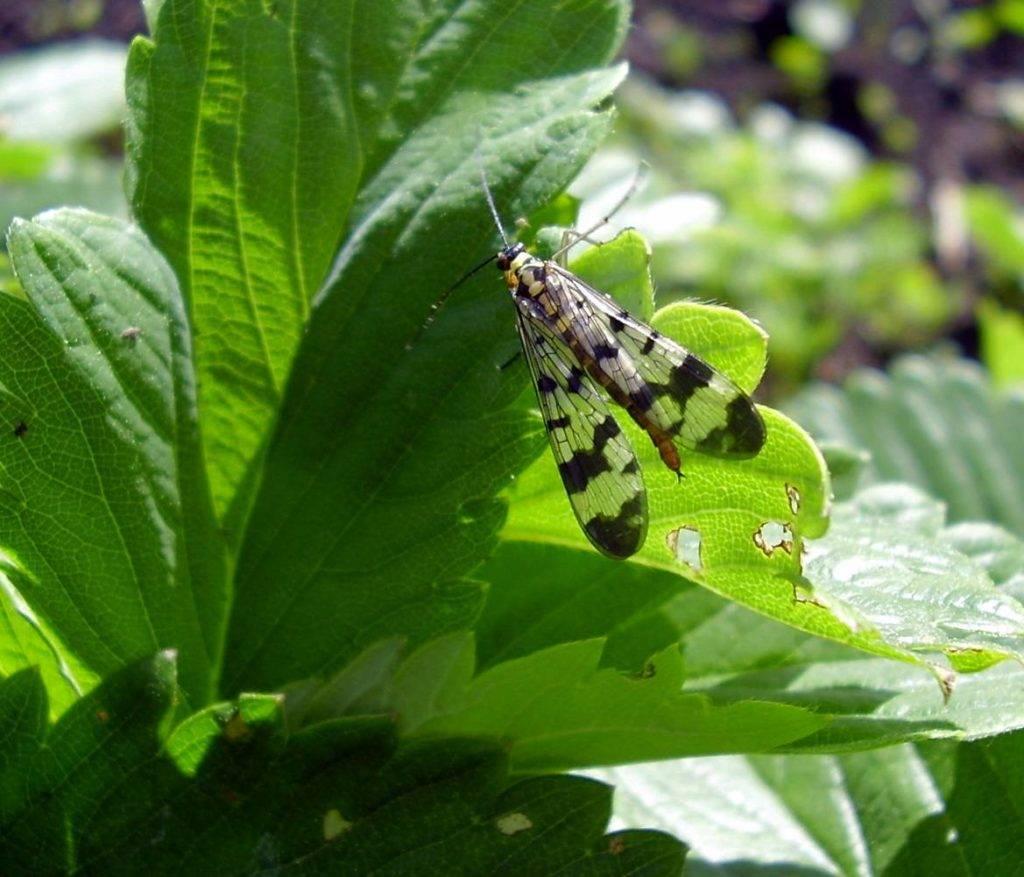 Вредители малины и борьба с ними, а также меры профилактики и защиты растений