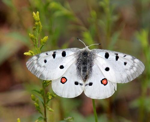 Бабочка аполлон обыкновенный – как сохранить исчезающую красоту