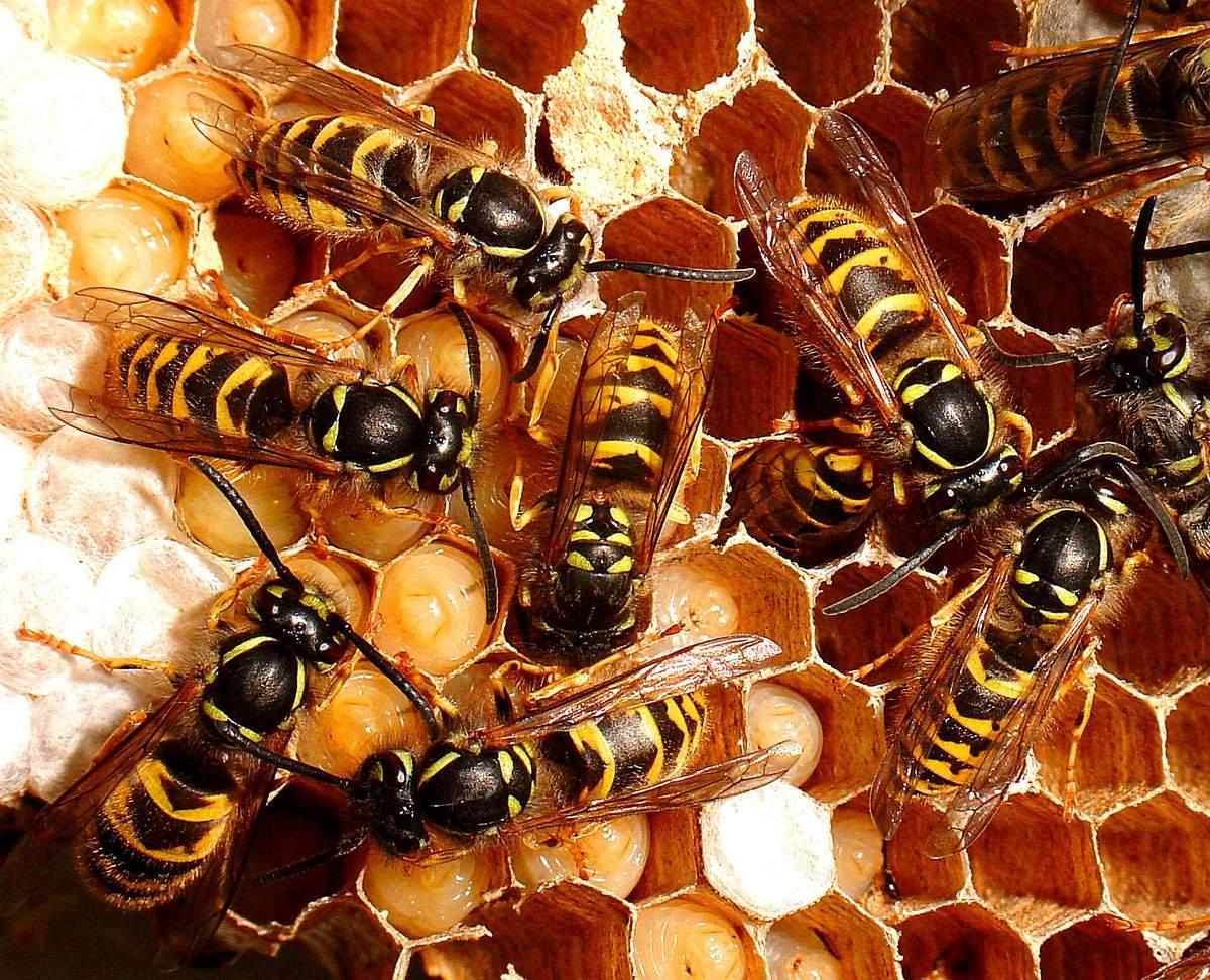 Чем отличается шмель от пчелы и осы