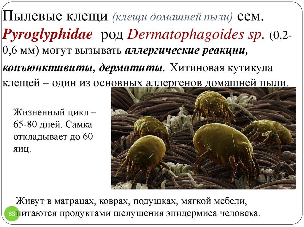 Пылевые (dermatophagoides) постельные клещи – 10 фото, описание, жизненный цикл, места обитания. 12 средств и способов избавления от клещей самостоятельно в домашних условиях