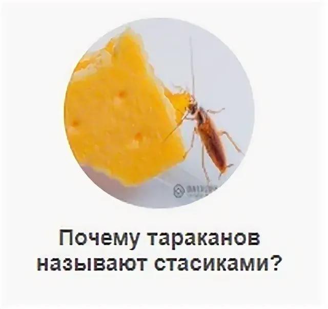 Почему тараканов называют стасиками или прусаками и как от них избавиться?