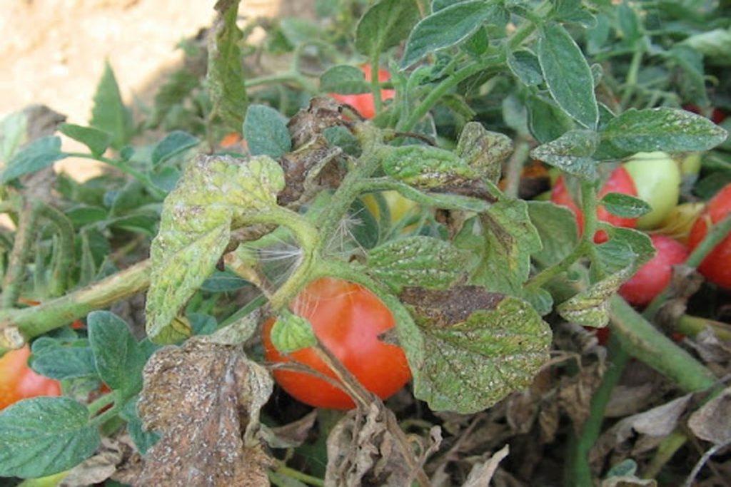 Как уничтожить паутинного клеща на помидорах, что делать?