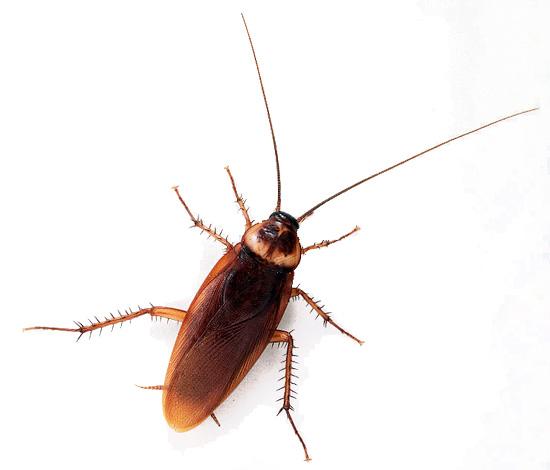 Почему тараканов называют стасиками - различные версии