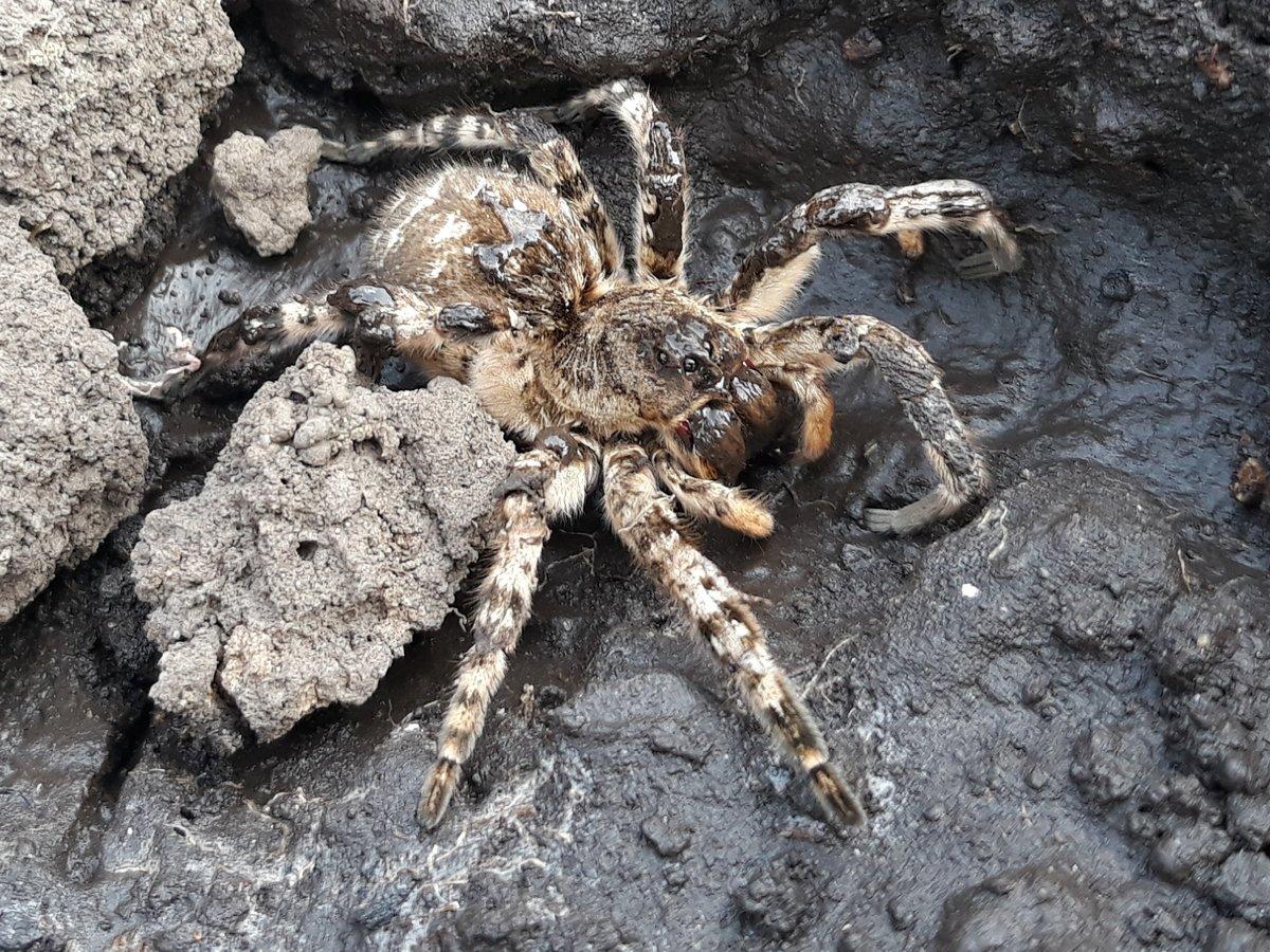 Южнорусский тарантул: фото и описание, опасен ли для человека, как избавиться на участке