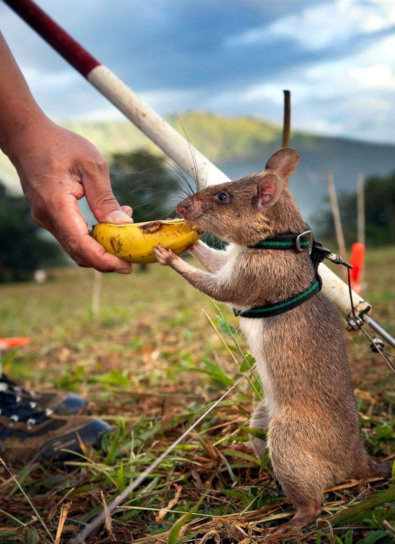 Гигантская гамбийская крыса, или крыса гамби | мир животных и растений