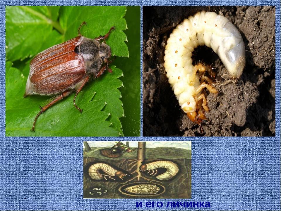 Как выглядит и чем питается личинка майского жука?