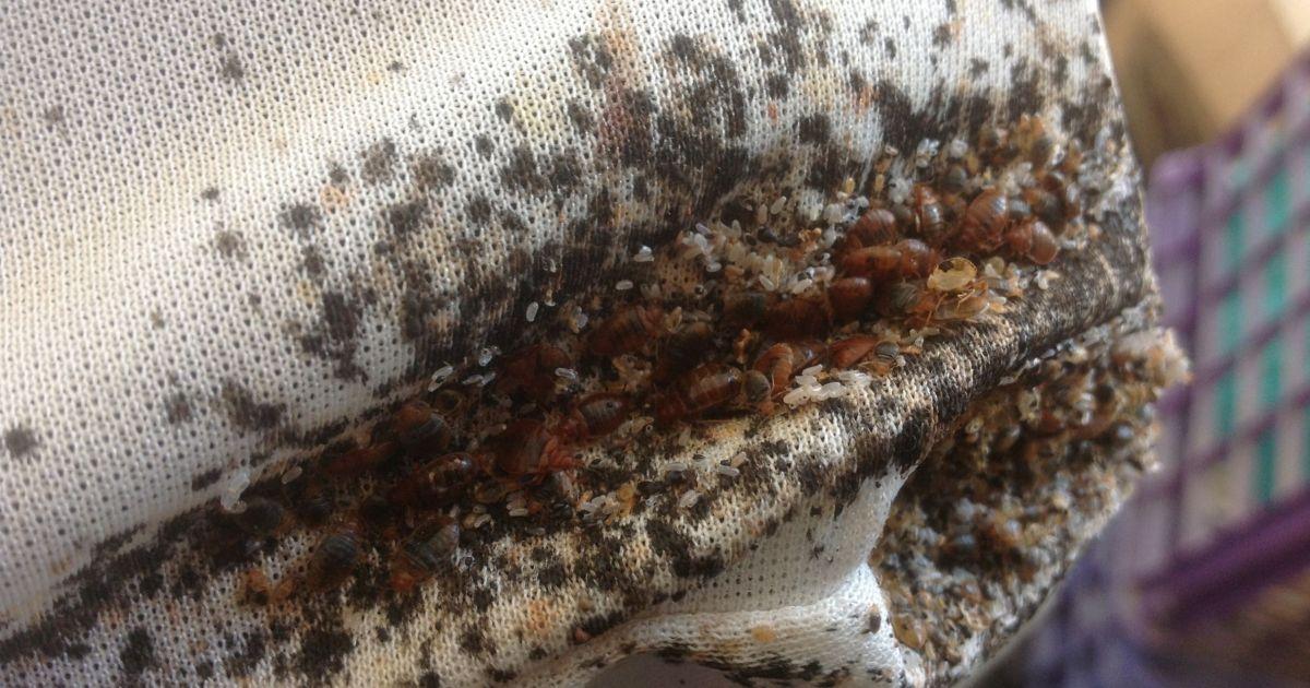 Бельевые клопы: особенности питания и размножения