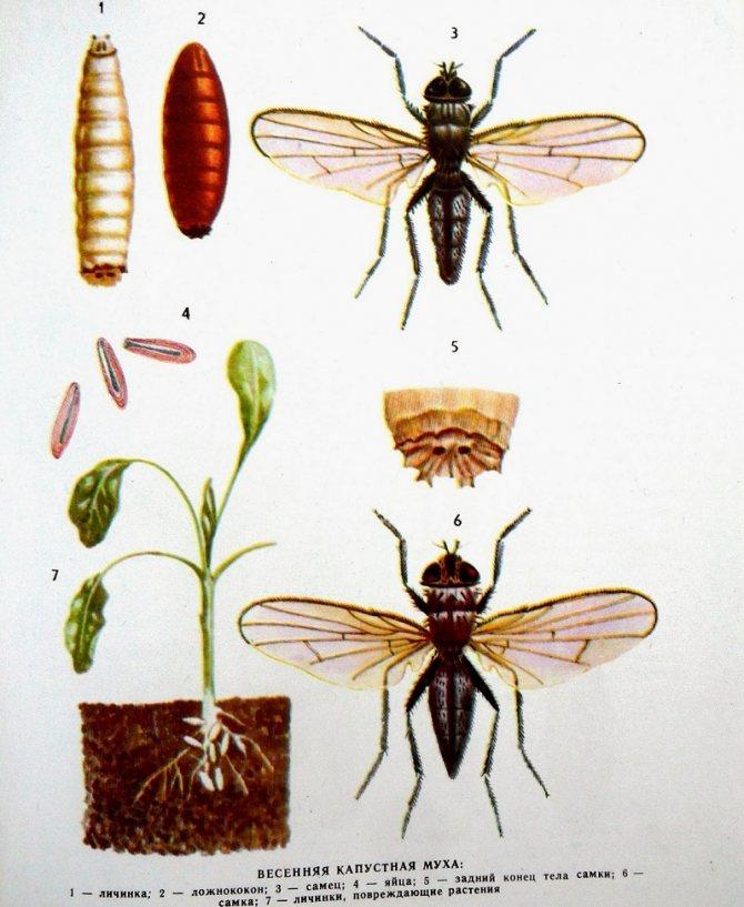 Самые эффективные методы борьбы с капустной мухой