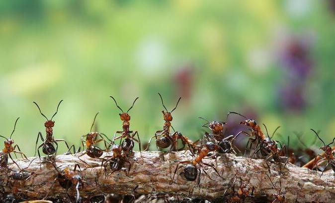 Как избавиться от муравьев-древоточцев
