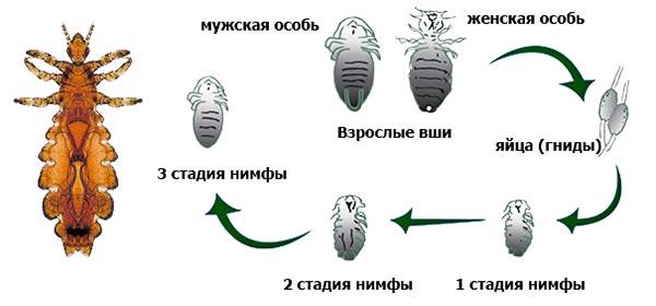 Как быстро размножаются блохи