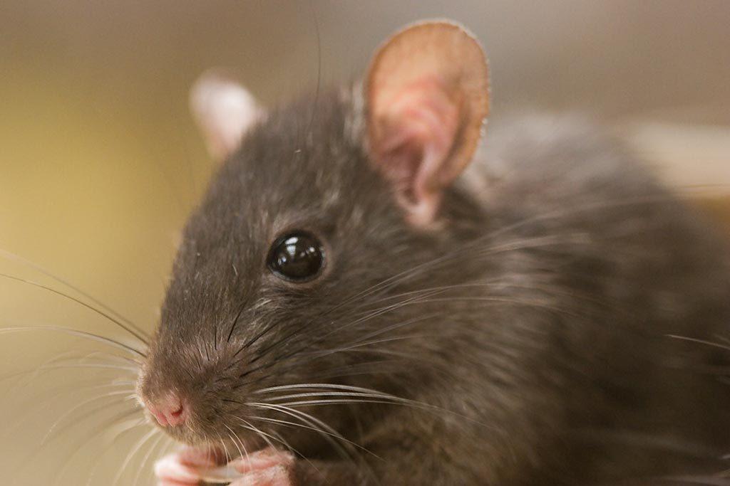 Черная крыса   мир животных и растений