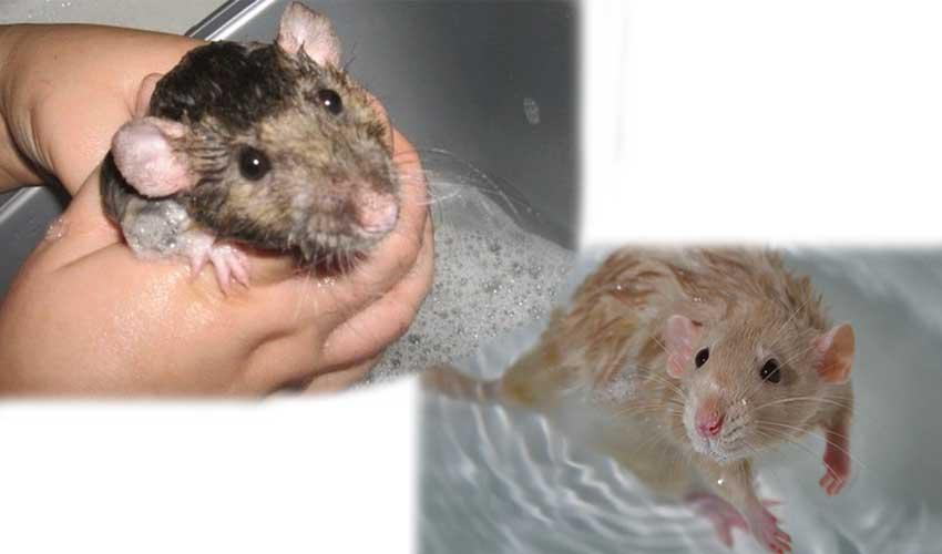 Продолжительность жизни крыс: сколько лет, умеют плавать дикие пасюки, размножение, год