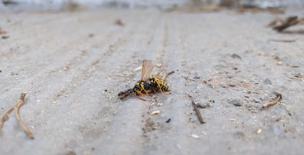 Борьба с клещами у муравьёв | клуб любителей муравьев