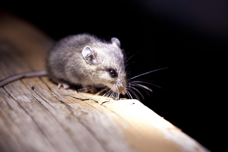 Мышь - 93 фото домашнего грызуна и главного помощника ученых