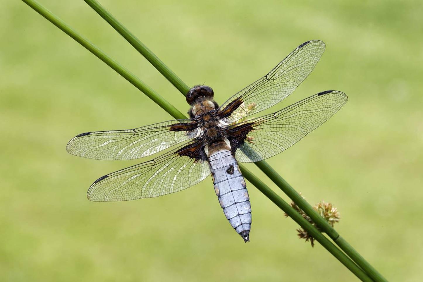 Жужелица выпуклая: жизненный путь хищного насекомого